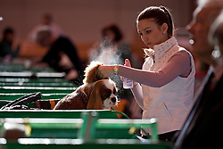 © London News Pictures. 08/03/2012.  Ivett Szabo preparing Benitos Companeros Unaffectedness the Cavalier King Charles Spaniel on day one of Crufts at the Birmingham NEC Arena on March 8, 2012 in Birmingham.  Crufts, which is the largest annual dog show in the world, hosts over 20,000 dogs and owners who compete in a variety of categories. Photo credit : Ben Cawthra/LNP