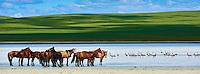 Mongolie, Province du Khentii, troupeau de chevaux et des grues cendrées au lac blanc // Mongolia, Khentii province, a herd of horses and a groupe of demoiselle crane at the white lake