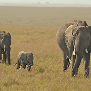 Little elephant family migrating through the savannah.