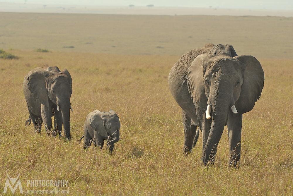 Little elephant family migrating through the savannah.