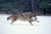 Timber or Grey Wolf, Canis Lupus,  Minnesota USA, controlled situation, in snow, winter, running, blurred
