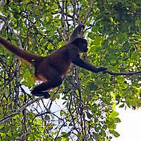Central America, Costa Rica, Osa Peninsula. Howler Monkey in trees.