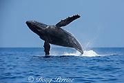 humpback whale, Megaptera novaeangliae, Endangered Species, breaching, Hawaii Humpback Whale National Marine Sanctuary, Kohala, Kona, Hawaii ( Central Pacific Ocean )