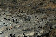 Puma (Felis concolor patagonica) female<br /> Lago Sarmiento<br /> Torres del Paine National Park<br /> Patagonia<br /> Magellanic region of Southern Chile