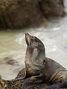 A New Zealand Fur Seal (Arctocephalus forsteri) rests on the rocks of Allan's Beach, near Portobello, Otago Peninsula, Dunedin, New Zealand