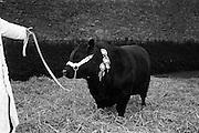 13/4/1966<br /> 4/13/1966<br /> 13 April 1966<br /> <br /> Pedigree Bull at Clonacody