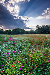 Sunset on wildflower field, Big Spring historical and natural area, Great Trinity Forest, Dallas, Texas, USA