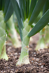 Onion 'Sturon'  Allium cepa