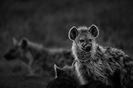 The unmistakably wild at heart spotted hyena in the Maasai Mara.