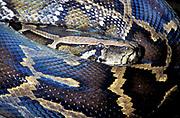 Indian or Burmese Python Snake, Python molurus, South East Asia, curled around, pattern skin,