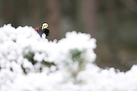 Capercaillie (Tetrao urogallus) male displaying in winter pine forest, Cairngorms National Park, Scotland.