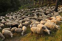 Sheep (Ovis aries).Sierra de Andújar Natural Park, Mediterranean woodland of Sierra Morena, north east Jaén Province, Andalusia. SPAIN.