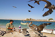 19 NOVEMBER 2002 - PUERTO PENASCO, SONORA, MEXICO: Juan Santiago, a fisherman in Puerto Penasco, cleans his days' catch under the watchful eyes of ravenous sea birds near the public fish landing in Puerto Penasco, Tuesday, November 19. PHOTO BY JACK KURTZ
