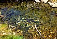 Steelhead Trout on spawning redd, Salmon River, ID<br /> <br /> Roger Peterson/ENGBRETSON UNDERWATER PHOTO