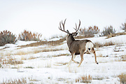 Mule deer buck during autumn rut in Wyoming