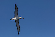 Shy Albatross (Thalassarche cauta)<br /> South of South Africa<br /> Western Cape<br /> South Africa<br /> 60 miles south of Gansbaai