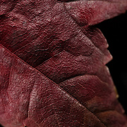 A studio portrait of an Autumn Leaf, New England, USA.  Photo Tim Clayton