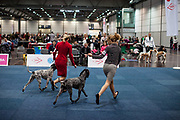 Participants presenting their Braque d'Auvergne breed dogs during the ring competition for at the Leipzig Trade Fair. Over 31,000 dogs from 73 nations will come together from 8-12 November 2017 in Leipzig for the biggest dog show in the world.