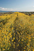 Vertical of cowpen daisies in New Mexico