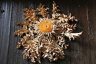 France, Languedoc Roussillon, Hérault, Saint-Guilhem-le-Desert, fleur de chardon :Cardabelle