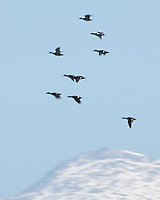Flock of Waterfowl in Flight. Arapaho National Wildlife Refuge. Image taken with a Nikon D2xs camera and 80-400 mm VR lens.
