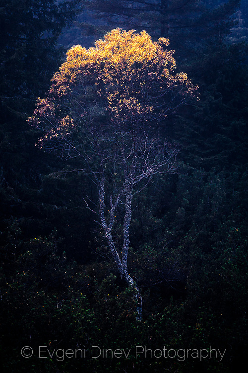 A crown of a tree with yellow leaves on the front of a dark misty forest