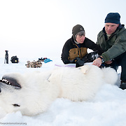 Merav Ben David and Eric Regher  attend to a polar bear cub on the Arctic Ocean ice pack.