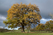 Autumn oak tree in Warwickshire landscape on 10th November 2020 near Henley-in-Arden, United Kingdom. Autumn leaf colour is a natural phenomenon where green leaves of many deciduous trees and shrubs during a few weeks in the autumn season, change colour to various shades of yellow, orange, red and brown as the plants reduce the chlorophyll to shed the leaves at this time of the year.