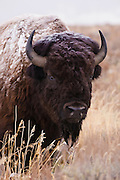 Bull bison in deep grass at the beginning of Winter in Grand Teton National Park. Artistic effects to a photograph by Mike R. Jackson