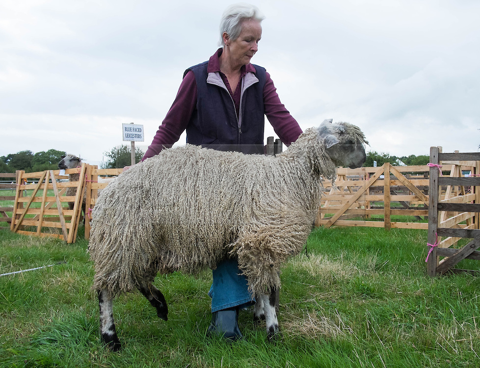 © Licensed to London News Pictures. <br /> 13/08/2014. <br /> <br /> Danby, North Yorkshire, United Kingdom<br /> <br /> A woman takes one of her sheep into the pen at the start of the Danby Agricultural Show in North Yorkshire. <br /> <br /> This year is the 154th show which was founded in 1848. It is the oldest agricultural show in the area and offers sheep dog trials, judging of a variety of different animals such as cattle, sheep, ferrets, horses and rabbits along with different classes of horticulture and dairy. <br /> <br /> Photo credit : Ian Forsyth/LNP