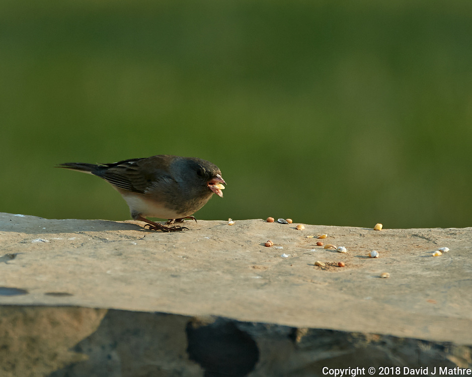 Dark-eyed Junco. Image taken with a Nikon D5 camera and 80-400 mm VRII lens (ISO 200, 400 mm, f/5.6, 1/400 sec).