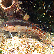 Saddle Blenny inhabit reefs, perch on bottom in Tropical West Atlantic; picture taken Grand Cayman.
