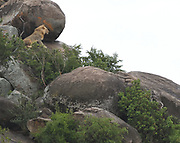 A large male lion (Panthera leo) surveys the Serengeti from a rocky outcrop, a  kopje. Serengeti National Park, Tanzania.