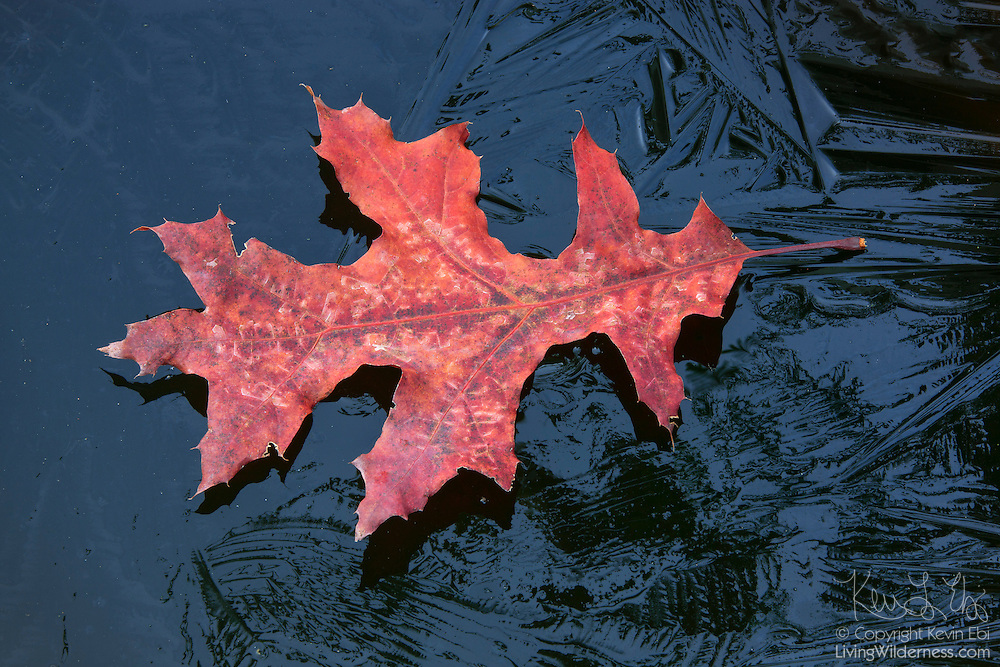 A red oak leaf, displaying its fall color, floats on a thin layer of ice covering a pond in Snohomish County, Washington.