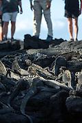 Tourists observe Marine Iguanas, Fernandina Island, Galapagos, South America