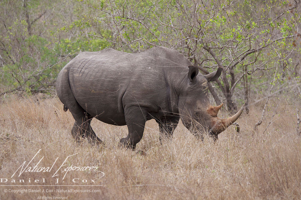 White Rhino. MalaMala Game Reserve. South Africa.
