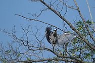 This great blue heron was perched in a large tree at the center of a small pond along Cayuga Lake in Ithaca, NY.