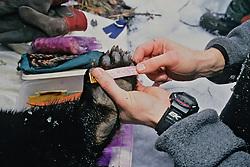 Measuring Bear Paw