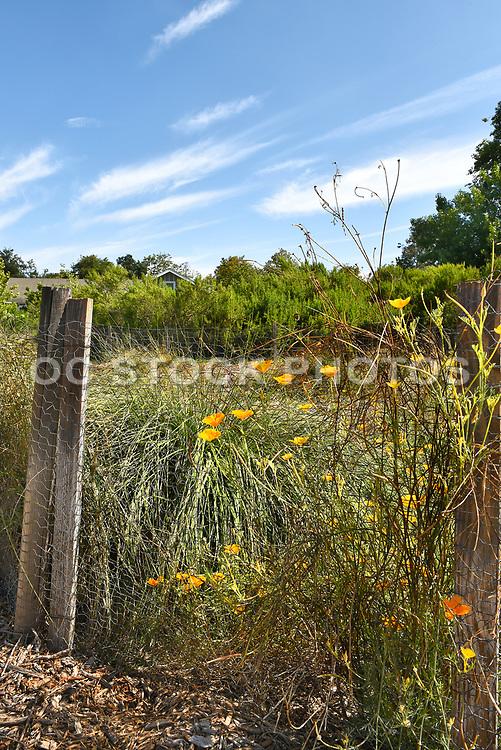 Poppies at San Joaquin Marsh Reserve