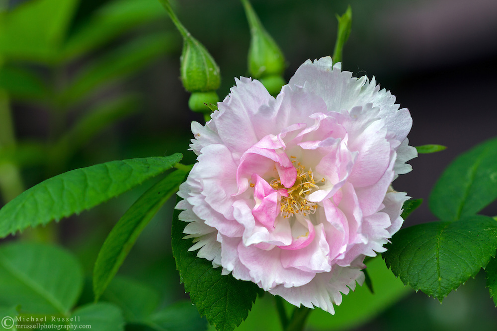 "'Fimbriata' ( Rosa rugosa) - a ""David Austin Rose"" flowering during the spring in a backyard rose garden"