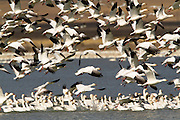 Snow Geese at Freezeout Lake, Montana.