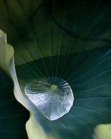 Lotus Plants  Irmo, South Carolina  photo by catherine brown