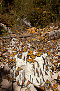 Monarch Butterflies mass along the path in the Sierra Pellon mountain at the Monarch Butterfly Biosphere Reserve in Sierra Pellon central Mexico in Michoacan State. Each year hundreds of millions Monarch butterflies mass migrate from the U.S. and Canada to Oyamel fir forests in the volcanic highlands of central Mexico. North American monarchs are the only butterflies that make such a massive journey—up to 3,000 miles (4,828 kilometers).