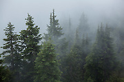 Trees shrouded in mist in the Bacon Creek drainage, Mount Baker-Snoqualmie National Forest, Washington.