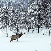 Elk, (Cervus elaphus) bull wanders through Snowy timber, foraging for food. Winter.