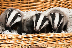 "© Licensed to London News Pictures. 24/4/2014. Nuneaton, Warwickshire, UK. Pictured, Badger cubs Scampy, Fidget and Dopey were found by a rambler when just four weeks old, they were hiding in a hedgerow, suffering from hypothermia and lack of food, their parents both nearby, shot dead. Taken to Warwickshire Wildlife Sanctuary in Nuneaton, they were brought back to life with love and care by Geoff Grewcock who runs the Sanctuary along with 25 volunteers. The baby cub badgers now 12 weeks old, have doubled in size, Geoff smiles, ""for some reason they have also taken a liking to my custard cream biscuits, they seem to love them and are currently getting through a packet a week""  Now checked by a local vet, inoculated and tagged, Geoff has found a home for them at  Secret World in Somerset, where they will join other badgers in purpose built sets and hopefully lead a full life. Geoff can be contacted on 02476 345243. Photo credit : Dave Warren/LNP"