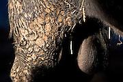 Testicles of a South Devon bull at Sheepdrove Organic Farm, Lambourn, England