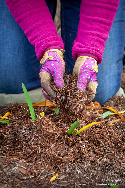 Mulching agapanthus with straw for winter protection after the foliage has started to die back