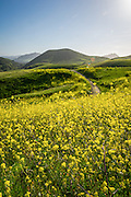 Rolling Hills and Mustard Plant San Luis Obispo