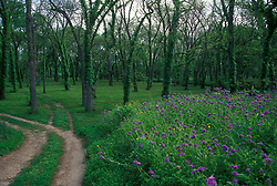 Stock photo of trails through scenic land passing by a field of purple native wildflowers